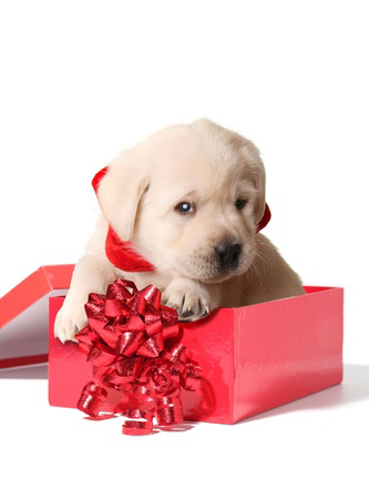 11476672 - labrador puppy in a red christmas box.