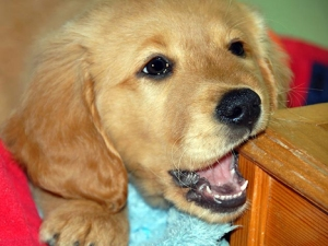 puppy teething_puppy with sharp teeth