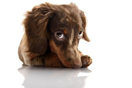 46416685 - little cute brown spotted dachshund puppy with big eyes