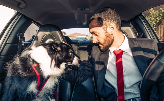 50577005 - man motivate his dog before canine competition in the car.